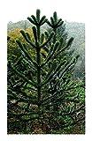 SANHOC Las semillas del paquete: 10 semillas: Araucaria araucana - rompecabezas de mono - mono - 10 seedsSEED