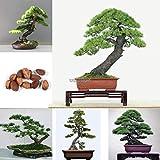 Portal Cool Paquete de semillas: 10pcs: Semillas 10Pcs japonesa de árbol de pino de Bonsai Pinus thunbergii semillas de árboles Inicio WST
