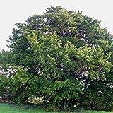 Las Semillas comunes del árbol del tejo, Taxus baccata