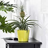 Pflanzen Kölle Ananaspflanze mit Frucht Ananas Corona, Topf 12 cm, Höhe 45 cm