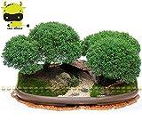 Pinkdose Juniper Bonsai Las semillas de árboles en maceta Flores Oficina Bonsai Juniperus chinensis, 50 semillas/paquete, purificar el aire absorben gases nocivos