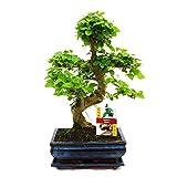 Bonsai ligustro cinese (Ligustrum sinensis), ca. 8 anni