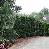 Semillas Arborvitae americano cedro blanco (Thuja occidentalis) + 50 Semillas