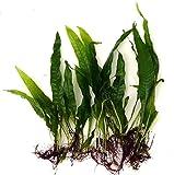 Plantas acuáticas para acuario, helecho Microsorium Pteropus, 10 unidades