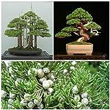 Portal Cool Las Semillas del Paquete: Juniperus chinensis 50 Semillas, enebro Chino Bonsai F