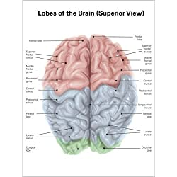 Cuadro sobre lienzo 120 x 160 cm: Superior view of human brain with colored lobes and labels.