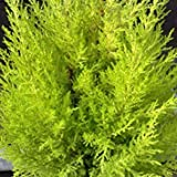 SANHOC Las semillas del paquete: 15cm Cupressus macrocarpa 'cresta' Pot SizeSEED