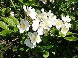 Shoopy Star 60 Semillas: rojo japonés pino, Pinus densiflora, semillas de árboles (Bonsai, Hardy Evergreen)