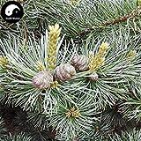 ASTONISH SEEDS: Comprar bienes Semillas Pinus árbol 240pcs de la planta del árbol de pino Pinus Grow Wu Zhen Canción pinaster