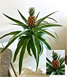 """BALDUR-Garten Ananas """"Corona"""",1 Pflanze"""