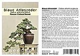 Seedeo azul Atlas de bonsái de cedro (Cedrus Atlantica Glauca) 20semillas