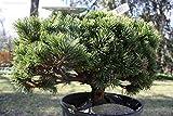 Pets Delite® 15 Semillas de Pinus mugo mughos (Mugo Pino) Bonsai