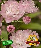 BALDUR-Garten Mandelbaum, 1 Pflanze Prunus triloba winterhart