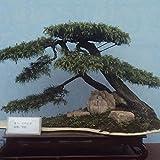 Portal Cool Las semillas del paquete: Compre 3 obtener 2 semillas gratuito Pinus thunbergii 120Pcs Pinaceae Pino japonés Thunbergii