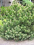 VISA STORE Pinus mugo mughus MUGO PINO Semillas de semillas!