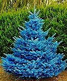 ScoutSeed 30 Unids Blue Spruce Semillas Bonsai Picea Pungens Perrenial Decor Pot Home Gardening
