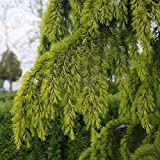 SANHOC Las Semillas del Paquete: Cedrus deodara Aurea -en la India Cedar, injertado inSEED