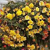 Trailing Begonia Illumination Apricot Shades Jumbo Plug Plants (Pack of 24)