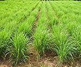 Graines de citronnelle - Cymbopogon citratus - 400 graines
