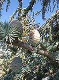 Portal Cool Las Semillas del Paquete: Cedrus atlántica, Cedar r, Cedro, 10 Semillas, Semillas y Bonsai Ornametale
