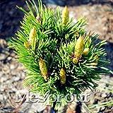 Pérdida de la promoción! Caliente 50PCS Pinus densiflora semillas de árboles bonsai en maceta plantas Semillas de estar Balcón japonés del árbol de pino