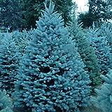 30pcs Semillas de Abeto Azul, Semilla de Arbol de La Picea Azul con Azul Follaje Resistente al Frío, Semilla Exterior Raras para Horticultura y el Diseño del Paisaje