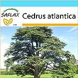 SAFLAX - Set regalo - Cedro azul del Atlas - 20 semillas - Cedrus atlantica