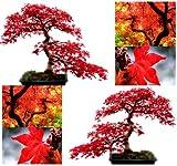10x rojo árbol de arce semillas-Acer rubrum-excelente para japonés Bonsai-crece en pleno sol o Parcial de sombra-zonas 5-9-por myseeds. Co, Modelo:, hogar y jardín tienda
