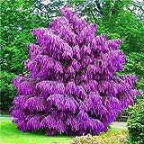 Go Garden 100pcs / bag: Semillas 100 piezas/lote púrpura japonesa Pino Pinus thunbergii Semillas Kr45D