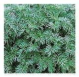 Artemisia absinthium - Absinthe - 15 graines