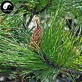 Comprar semillas de Pinus massoniana árbol 100 piezas de la planta Mason pino pinaster Árbol de China