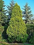 150 Semillas Cipres de Lawson (Chamaecyparis lawsoniana)
