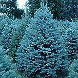 ASTONISH: 10 Rare Blue Cedar Thuja Tree Occidentalis Bonsai Patio Semillas de plantas de jardín