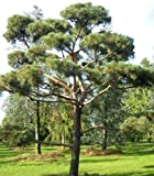 Tree Seeds Online - Escoceses Pino Pinus Sylvestris. 25 Semillas - 10 Paquetes