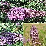3 Schmetterlingsflieder- Buddleja Pink Delight- Nanho Blue- Empire Blue 15-20 cm Topfpflanze