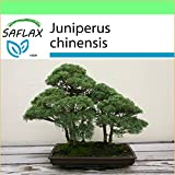 SAFLAX - Garden to Go - Enebro de la China - 30 semillas - Juniperus chinensis