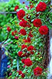 Bee Garden Organic Beautiful Red Climbing Rose Flower Seeds For all Seasons and Weather Conditions