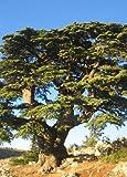 TROPICA - Cedro del Atlas norteafricano (Cedrus atlantica) - 20 semillas- Resistente invierno