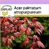 SAFLAX - Arce japonés - 20 semillas - Acer palmatum atropurpureum