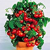 Pinkdose Meistverkauft!Sorte Kirschtomaten Bonsai Balkon Obstpflanzen Gemüse Topf Bonsai Topfpflanze Tomatenpflanzen, 100SEED: 13