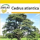 SAFLAX - Set de cultivo - Cedro azul del Atlas - 20 semillas - Cedrus atlantica