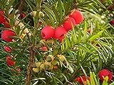 GEOPONICS Englih Yew, Taxu Baccata, semilla de la semilla (Evergreen, Topiary) 30 semillas