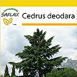 SAFLAX - Set de cultivo - Cedro del Himalaya - 35 semillas - Cedrus deodara