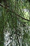 vegherb Cupressus macrocarpa 'saligna Aurea' 10 Semillas