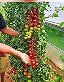 Pinkdose 200 Tomatenpflanze Seltene Mini-Klettertomatenpflanze, quot; Kirschtomaten - sweet 200 & rdquo, Mini Tomato Bonsai Pflanze Pflanze, Bio-Lebensmittel