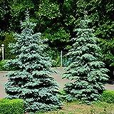 Blue Spruce, Colorado Blue Spruce semillas - Picea pungens glauca