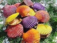 愛媛 宇和海産 天然 ヒオウギ貝 20枚 愛南漁師の贈り物 宇和海の幸問屋