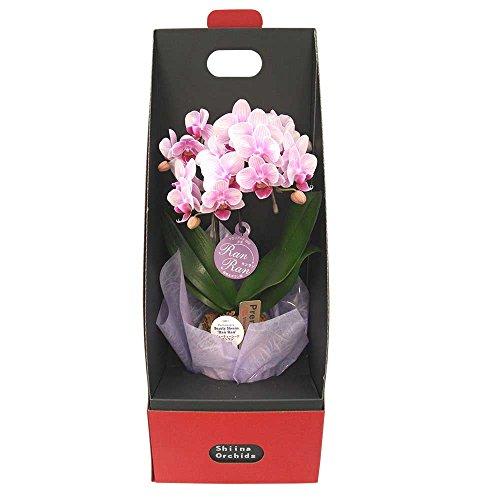 特別感のある胡蝶蘭は敬老の日におすすめのギフト