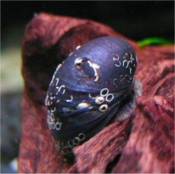 カバクチカノコ貝 2匹セット 【北海道・九州・沖縄・離島は発送不可】 生体
