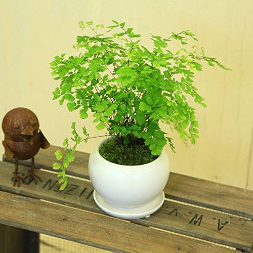 観葉植物:アジアンタム*モダンホワイト陶器鉢(受け皿付)苔付き